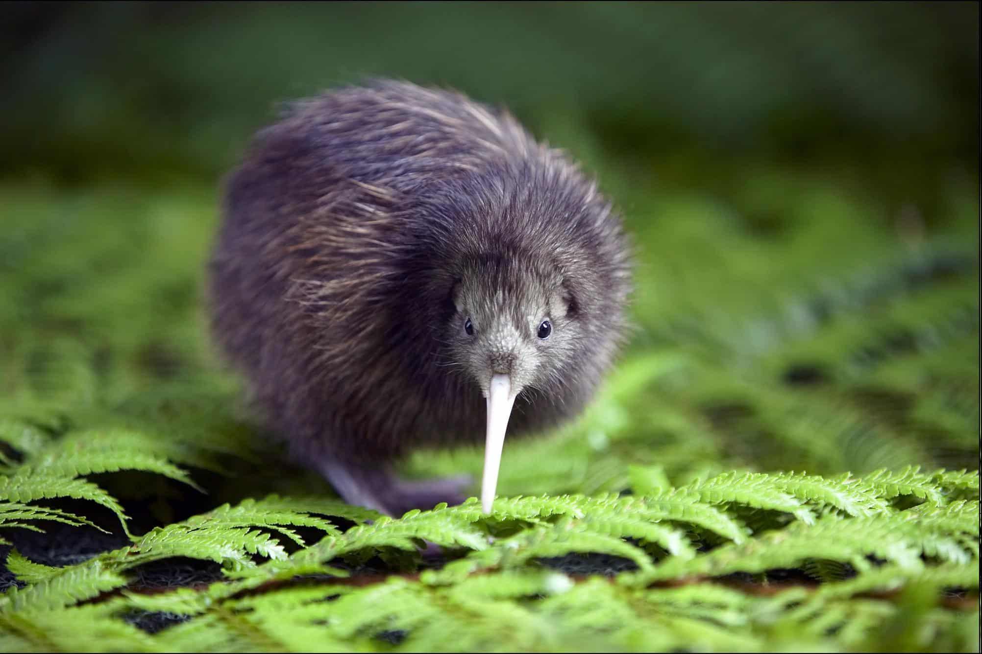 Kiwi un animal