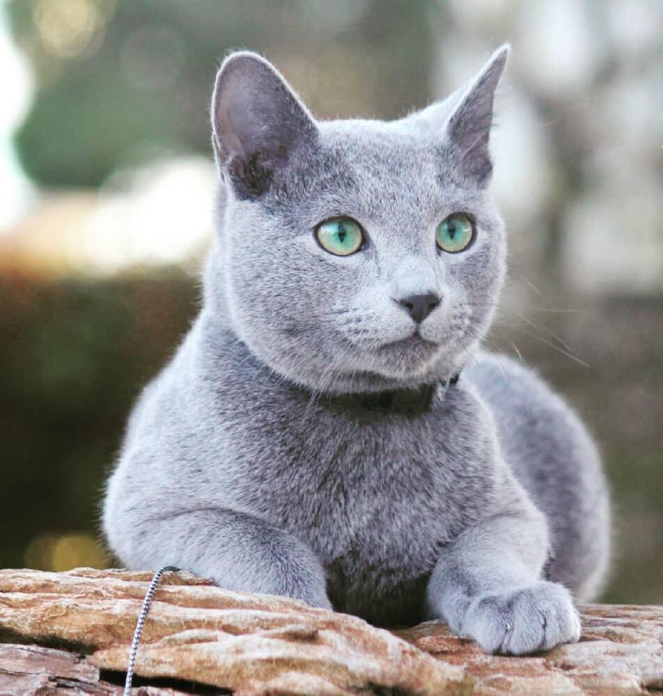 Gato Azul Ruso